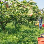 allergies respiratoires professionnelles chez des personnes travaillant dans des exploitations agricoles de pechers
