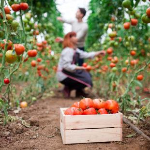 Potentiel allergénique des tomates cultivées en agriculture biologique versus agriculture conventionnelle